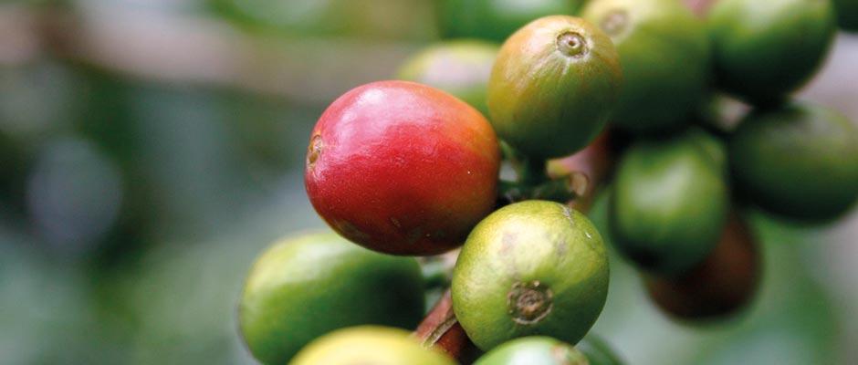 """Od tu pošljemo vzorec izbrane kave, ki se imenuje """"vzorec pred vkrcanjem""""."""